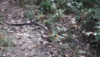 Black snake across trail