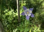 Columbine, the state flower