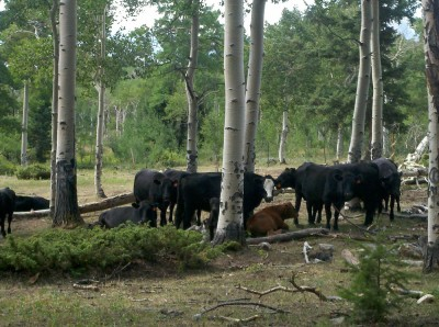 cows, cows, and more cows