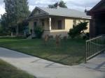 Deer in town