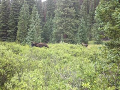 A mama moose!!!  And a baby moose!!!